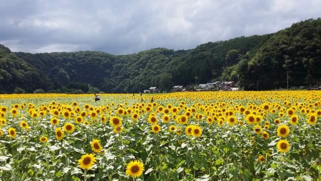 kimita sunflowers