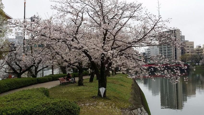 Hiroshima Cherry Blossom