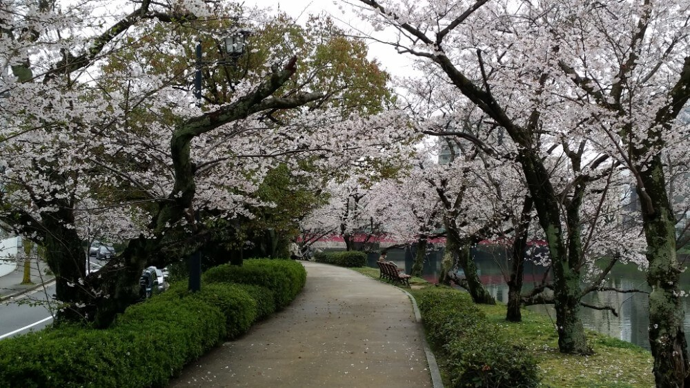 cherry blossom, Motoyasu river, Hiroshima